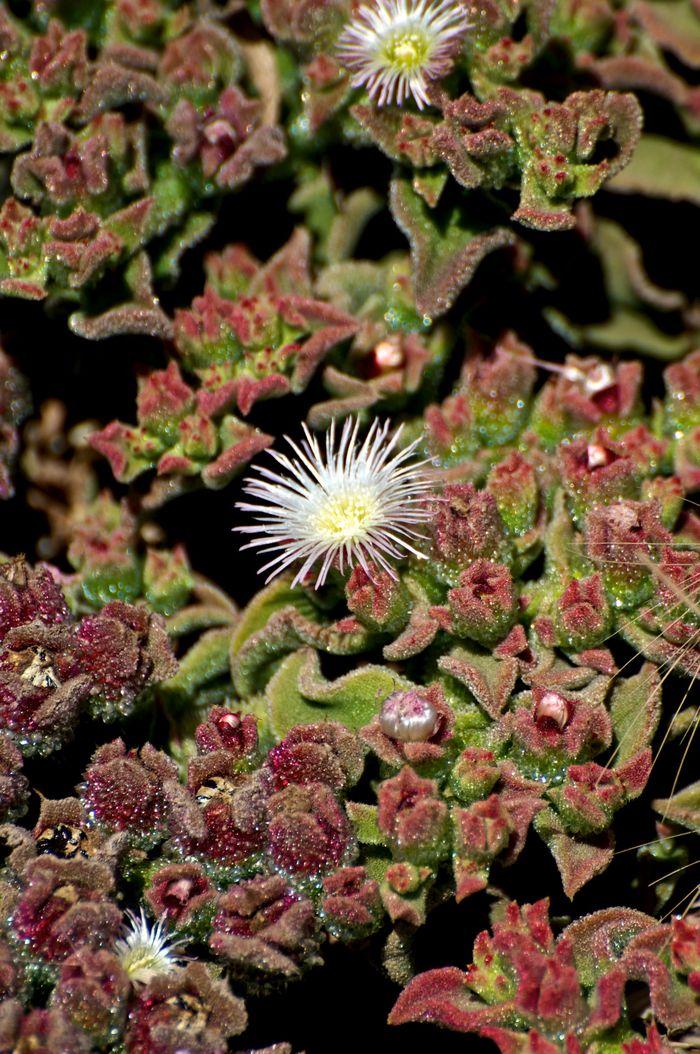 Desert Flower Revisited