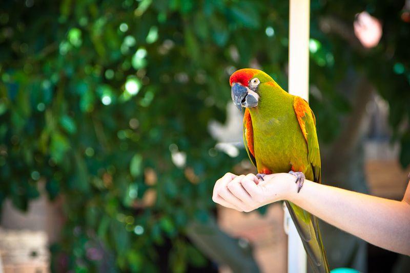 Parrot Down Town Disney-004